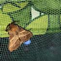 Eastern Tent Caterpillar Moth.