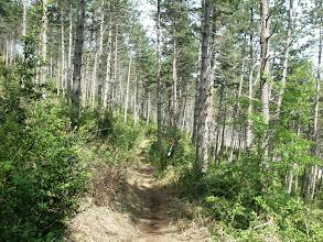 Photo: último kilómetro por los pinares próximos a Monreal