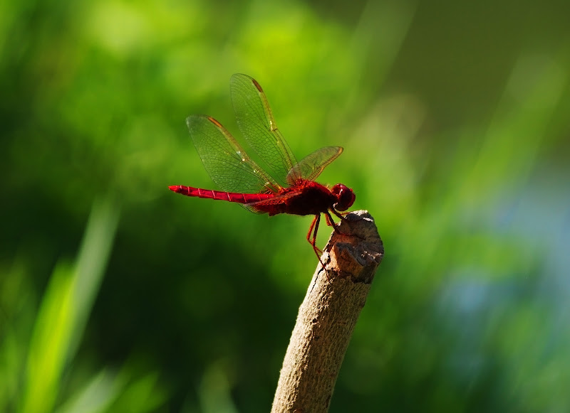 La libellula rossa di CamillaBalleari