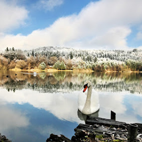 Reflects & swan. by Denis Klicic - Landscapes Waterscapes