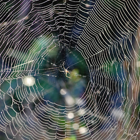 Web with Spider by Keith Heinly - Nature Up Close Webs ( wetland, florida, web, spider, morning )