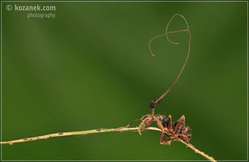 Cordyceps - O fungo que transforma insetos em zumbis!