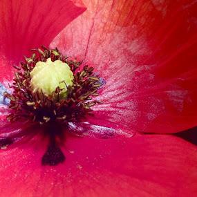 Poppy centre by Annie Cator - Flowers Single Flower ( pistil, stamens, poppy flower, poppy, close up,  )