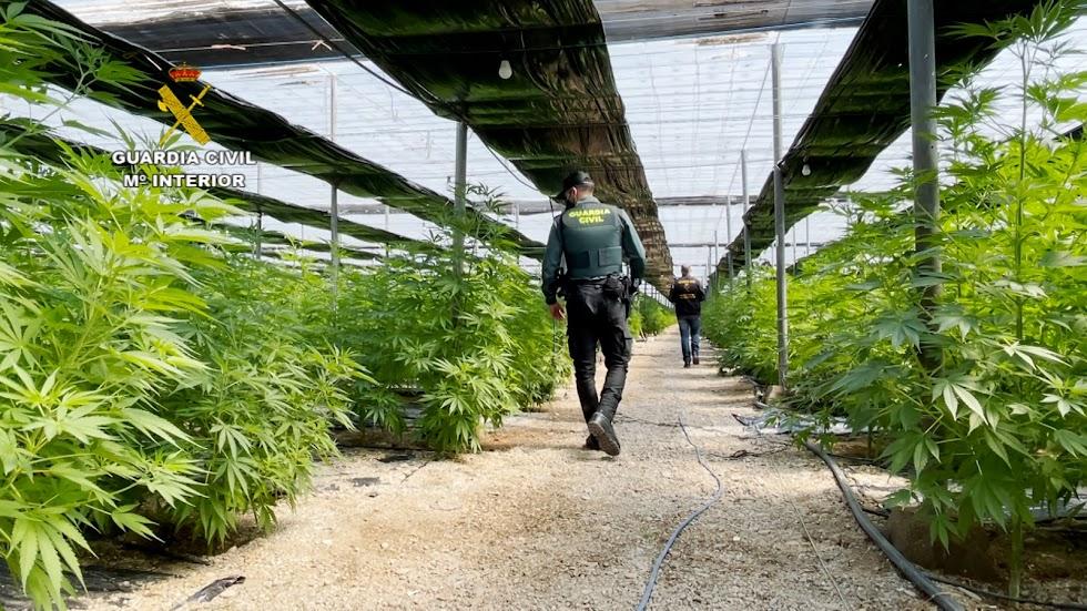 Cinco invernaderos con marihuana en El Ejido.