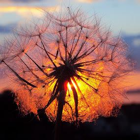 Colors by Svetlana Micic - Nature Up Close Other plants ( plant, natural light, dandelion, nature up close, sun )