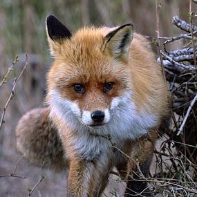 Red Fox by Roald Heirsaunet - Animals Other