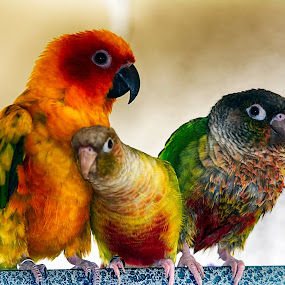 The Three Amigos by Scott Bryan - Animals Birds ( bird, pets, parrot, birds, animal, conure )