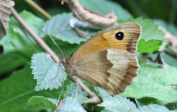Photo: Manolia jurtina    Lepidoptera Nymphalidae