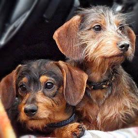 Jax and Jemma by Brenda Baird - Animals - Dogs Puppies (  )