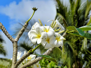 Photo: Frangipani blooms.  Even after falling off the tree they look and smell great for a long time which is why they're used for decorative purposes throughout these islands, even just a single bloom in the hair.