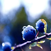 Blueberry Wallpapers