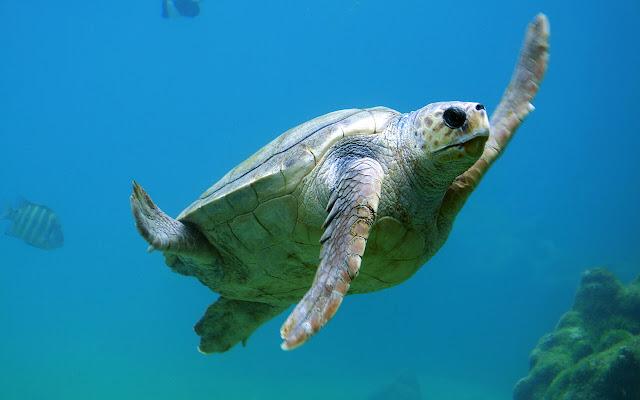 Sea Turtles - New Tab in HD