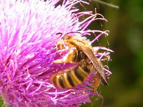 """Photo: Une abeille """"Halictus scabiosae"""" farfouille dans une fleur de chardon. Pas pratique !"""