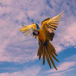 Macaw by Ajar Setiadi - Animals Birds