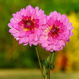 Duo de dalhia sur fond doré by Gérard CHATENET - Flowers Single Flower
