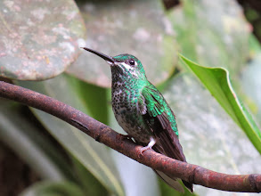 Photo: and photograph. CR has more species that the USA. This is a Green-crowned Brilliant female.
