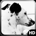 Dalmatian Dog Wallpaper icon
