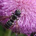 Pugnacious Leaf-cutter Bee