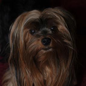 Abby by Kim Welborn - Animals - Dogs Portraits ( nikon d700, yorkie )