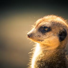 Watchful Meerkat by Karin Wollina - Animals Other Mammals ( nature, zoo, meerkat, mammal, animal,  )