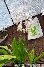 Photo: 拍攝地點: 梅峰-苔藓室 拍攝植物: 阿里山根節蘭 拍攝日期:2012_04_04_Yah