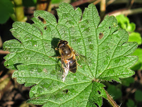 Photo: Priorslee Lake My first hoverfly of the year at the lake: I think the rather variable species Eristalis arbustorum. (Ed Wilson)