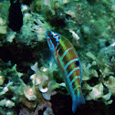 Ornate wrasse (Female)