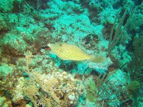 Photo: Scrawled_Filefish