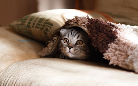 a cat is hidden under a blanket from fear of learning a new language