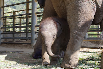 Photo: 10-week old baby elephant. Two years ago, his mom stepped on a land mine. Her foot was still healing.
