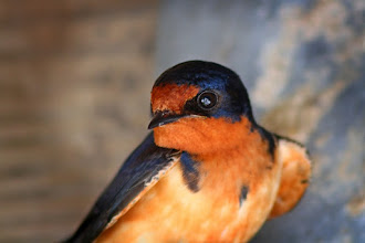 Photo: My last card for #BirdPoker : Colourful, curated by +Phil Armishaw  A Barn Swallow poses for a portrait under the lookout tower at Point Pelee Boardwalk. These guys are not shy, probably due to how many people pass by their nests every year. Good night everyone!
