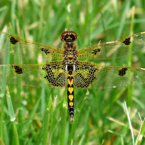 Calico Pennant Dragonfly by Lynne Miller - Animals Insects & Spiders ( lynne miller, alfred maine, male calico pennant dragonfly, dragonfly. )