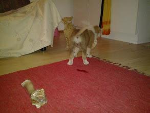 Photo: Asa on kissoista rohkein ja oli heti Helmin kaveri. Helmin hammastelu kyllä vähän viilensi välejä...