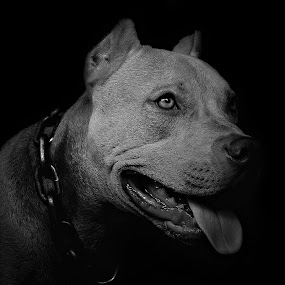 Rocket by Agung Wicaksono - Animals - Dogs Portraits ( up close, potrait, pitbull, dog, animal )