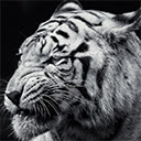 Tiger Wallpapers HD for New Tab