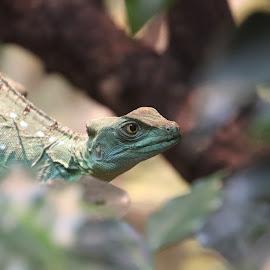 kiekeboe by Kathy van der Zwan - Kok - Animals Reptiles