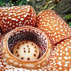 Rafflesia (Mt Makiling)