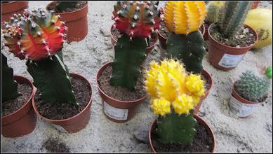 Photo: Cactusi, oferta de vanzare a magazinului Dedeman - 2018.02.26