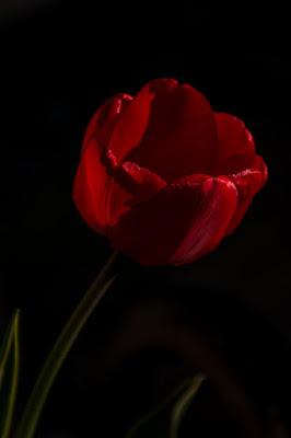 Tulipano di Eli2019