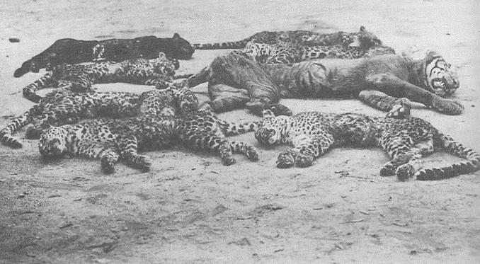 rampok macan 2.jpg