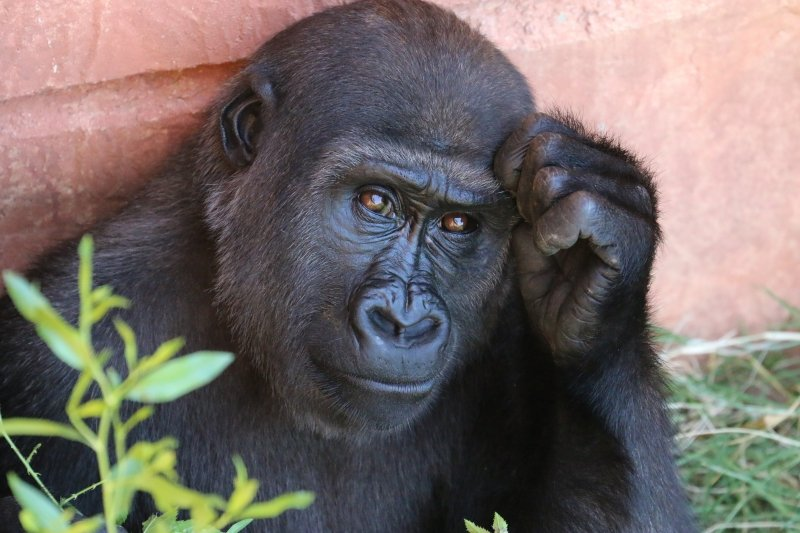 Deep in thought gorilla-free image courtesy of foter.com