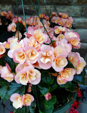 Photo: Lovely begonias. But they wouldn't fit in my backpack.