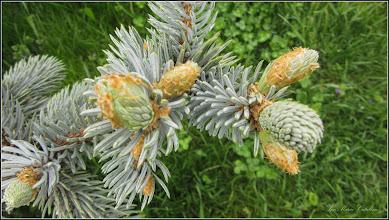 Photo: Molid argintiu  (Picea pungens) - din Turda,  Parcul Teilor - 2019.05.02