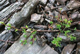 Photo: H. populifolium