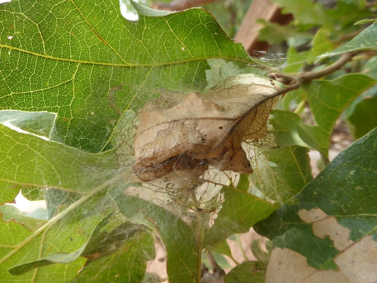 Leaf-tying Moth