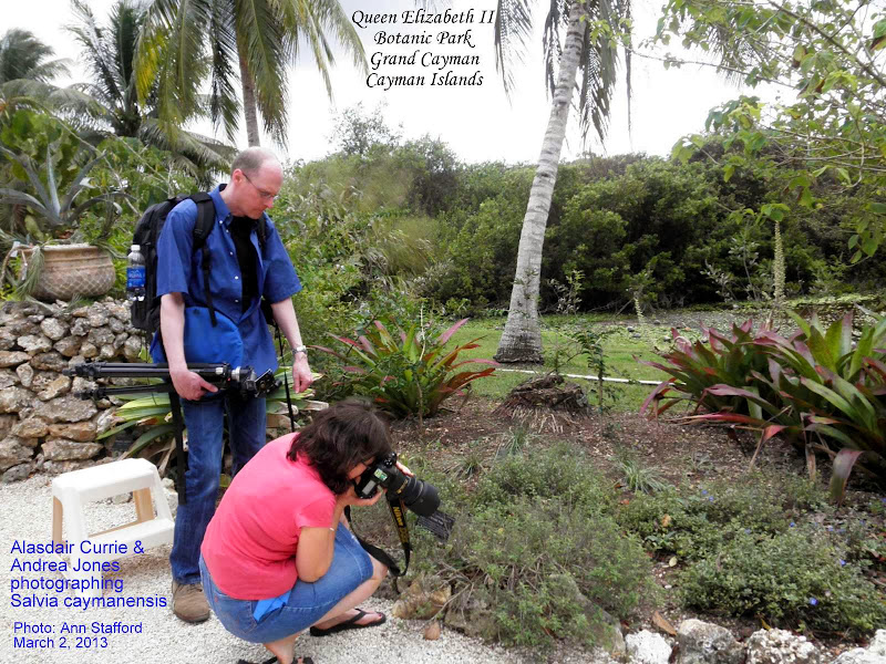 Photo: Alasdair Currie and Andrea Jones photographing  Critically Endangered Grand Cayman endemic  Cayman Sage - Salvia caymanensis, Family: LAMIACEAE/LABIATAE, a small, slender, stiffly erect shrub to 1m tall. http://caymannature.blogspot.com/p/blog-page_12.html FLORA of the CAYMAN ISLANDS by George R. Proctor 2012 p.590, Fig. 219, Plate 57. Photo: P. Ann van B. Stafford, Grand Cayman, Mar. 2, 2013.