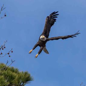 Aerial Eagle by Terri Schaffer - Animals Birds