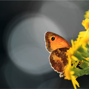 Bokeh by Svetoslava Todorova - Nature Up Close Other Natural Objects ( flowers, nature, butterfly, contrast, macro photography, bokeh, yellow, garden )