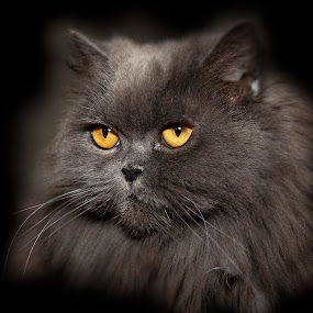 Countess by Andrija Vrcan - Animals - Cats Portraits ( cat, portrait,  )