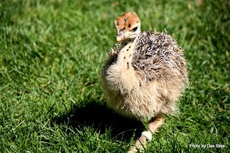 Photo: (Year 3) Day 23 - Baby Ostrich #2